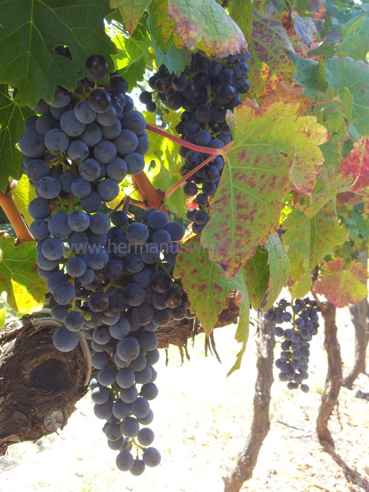 Wine grapes ready for harvest Hermanus, Stanford, Botrivers, Elgin winelands, near Cape Town South Africa